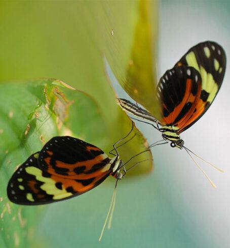 Mimétisme mullérien chez des papillons héliconius